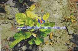 soybean molybdenum deficiency picture